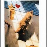 Chien Chihuahua Natcho