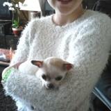 Chien Chihuahua Chanel
