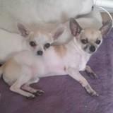 Chien Chihuahua Kenzo