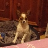 Chien Chihuahua Happy