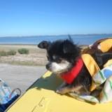 Chien Chihuahua Pas Encore Decidée