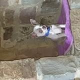 Chien Chihuahua Tito