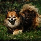 Chien Chihuahua I O D A Junior