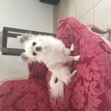 Chien Chihuahua Moki