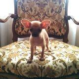 Chien Chihuahua Gucci