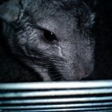 Rongeur Chinchilla Lucky