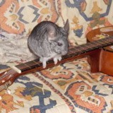 Rongeur Chinchilla Trico