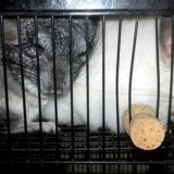 Rongeur Chinchilla Basile
