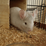 Rongeur Chinchilla Hyde