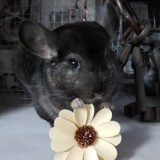 Rongeur Chinchilla Link