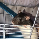 Rongeur Rat Chipie