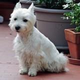 Chien West Highland White Terrier Chipie