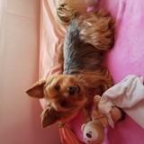 Chien Silky Terrier Chipie