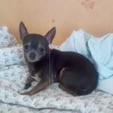 Chien Chihuahua Chouchou