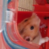 Rongeur Hamster Clochette
