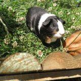 Rongeur Cochon d'Inde Pissaladière
