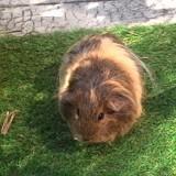 Rongeur Cochon d'Inde Mirabelle