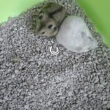 Rongeur Hamster Cookie