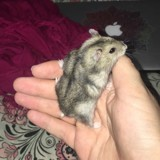 Rongeur Hamster Cookie Pouk