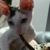 Chat Cornish Rex Falala