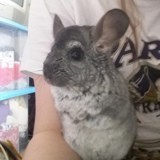 Rongeur Chinchilla Crevette