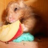 Rongeur Hamster Crochet