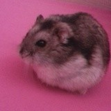 Rongeur Hamster Croquette