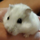 Rongeur Hamster Croquitou