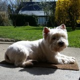 Chien West Highland White Terrier Crumble