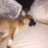 Chien Chihuahua Dîna
