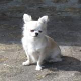 Chien Chihuahua Daiku