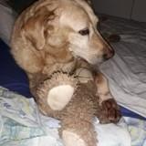 Chien Labrador Retriever Daira