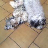 Chien Dandie Dinmont Terrier Louna