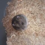 Rongeur Hamster Deedee