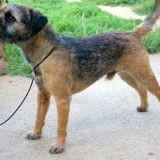 Chien Border Terrier Devil-In-The-World De Kibéfa