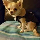 Chien Chihuahua Dixie