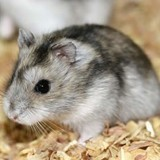 Rongeur Hamster Doche