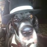 Chien Dogue allemand Jackson