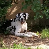 Chien Dogue allemand Vicky