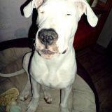Chien Dogue argentin Hachyle