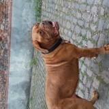 Chien Dogue de Bordeaux Lola