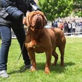 Chien Dogue de Bordeaux M-Yuvelir Nostalgie De France