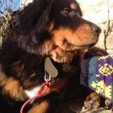 Chien Dogue du Tibet Latisha