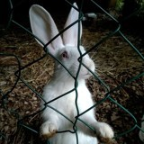 Rongeur Lapin Dolly