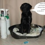 Chien Labrador Retriever Dolma