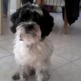 Chien Terrier tibétain Domino