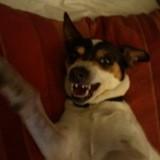 Chien Jack Russell Terrier Dora