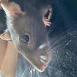 Rongeur Rat Doris