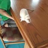 Rongeur Rat Doudou