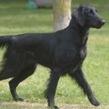 Chien Flat-Coated Retriever Dunker
